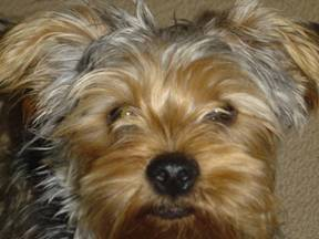 Yorkshire Terrier dog training in Derry New Hampshire