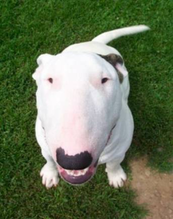 Bull Terrier dog training at Fortunate K-9 in Derry NH, North Hampton NH and Tewksbury MA