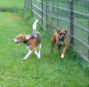 Foxhound and Boxer dog training in New Hampshire