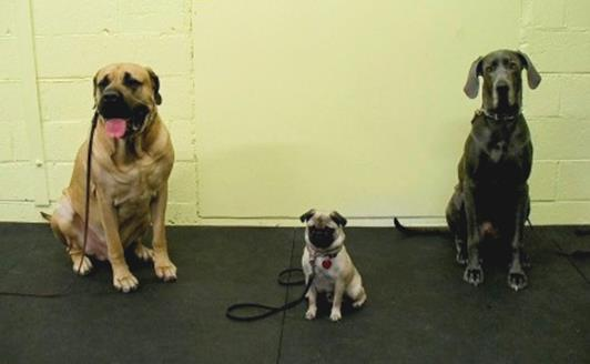 English Mastiff, Pug and Great Dane at Fortuante K9 Dog and Owner Training